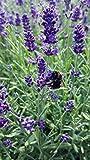 Lavendel (Lavandula angustifolia) in verschiedenen Varianten (1 Stück)