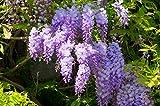 Wunderschöne Kletterplanze - Chinesischer Blauregen - Wisteria sinensis- verschiedene Größen (50-70cm Topf 2 Ltr.)