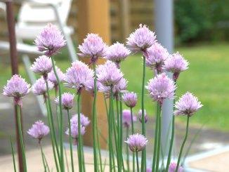 Schnittlauch im Garten zum Ernten