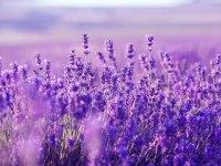 Lavendel schneiden und pflegen