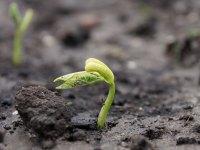 Bohnensamen keimt und wächst