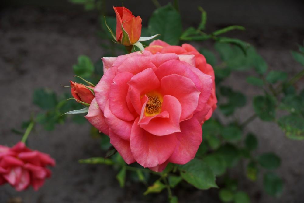 Rosen schneiden - Rosenblühte