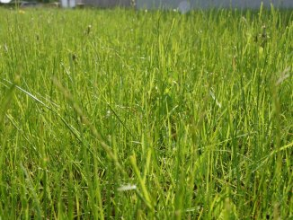Rasen mit Zecken im Garten